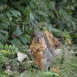 Morning Squirrels at the University of Michigan-Dearborn - October 20th, 2018 thumbnail