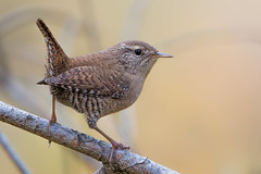 Wren (JS_71) Tags: nature wildlife nikon photography outdoor 500mm bird new autumn see natur pose moment outside animal flickr colour poland sunshine