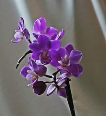 Сиреневый цвет (lvv1937) Tags: цветок goal орхидеи орхидея тропическоерастение цвет сиреневый wearefromyandexfotkiмыизяфа