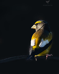 Evening Grosbeak (AnthonyVanSchoor) Tags: anthonyvanschoor maryland usa marylandbiodiversityproject marylandbirding rarity howardcountymd howardcountybirdclub evening grosbeak birdshare birdwatchingmagazine mbpready