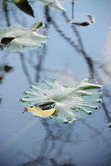 chance encounter (courtney065) Tags: nikond800 nature landscapes wetland pond pondscape autumn fall reflections waterreflections pondreflections lilypads blue blurred artistic abstract leaf autumnleaf serene serenitynow tranquil water