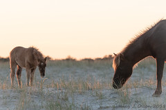Foal and Mom (daisyj85) Tags: wild ponies horses assateague island park wildlife md maryland nikon