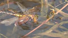Water beetles drowing dragonfly (hedgehoggarden1) Tags: video dragonfly waterbeetles pondlife hicklingbroad norfolkwildlifetrust norfolk eastanglia uk sonycybershot pond sony