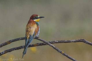 European Bee Eater (Male) - (Merops apiaster) 'L' for large