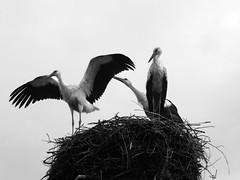 Young Storks (SaganSash) Tags: storks лелеки