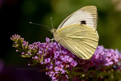 Green veined White - Klein geaderd witje (Joke.Benschop) Tags: butterfly greenveinedwhite jokebenschop kleingeaderdwitje vlinder wwwjokebenschopcom