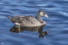 The odd one out (davidrhall1234) Tags: goose studleyroyal yorkshire birds birdsofbritain bird beak countryside outdoors feather nature nikon wildlife world water