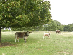 Under the shade, near Broughton Castle, Sep 2018 (allanmaciver) Tags: cows broughton castle banbury oxfordshire green horns long trees big sturdy strong shade shadow england allanmaciver longhorn