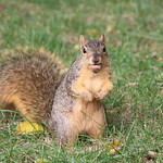 115/365/3767 (October 4, 2018) - Squirrels in Ann Arbor at the University of Michigan - October 4th, 2018 thumbnail