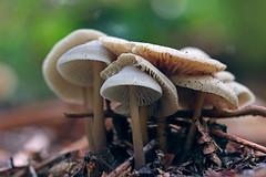 Autumn cluster (Ron and Co.) Tags: mushroom toadstool fungi fungus autumn woodland macro mouseholdheath