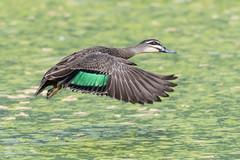 Pacific Black Duck (Helen Cunningham) Tags: pacificblackduck d500 pitcherparadereserve tasmania afsnikkor200500mmf56eedvr