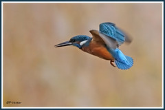 Martin-pêcheur vol 181016-02-P (paul.vetter) Tags: oiseau ornithologie ornithology faune animal bird martinpêcheur alcedoatthis eisvogel kingfisher