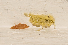 Success and Failure (Eskling) Tags: cabbagewhite largewhite smallwhite butterfly pupae parasite eggs wasp cotesia