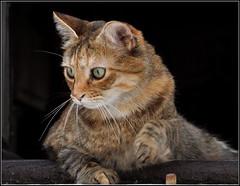 un chat à sa fenêtre ! (Save planet Earth !) Tags: cat chat animal amcc nikon