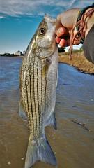 Striped Bass (Isaac's Fishing Corner) Tags: fish fishing striped bass