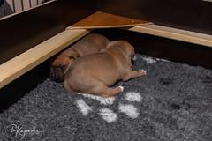 C00A9956.jpg (pka78-2) Tags: pentu rölli puppy röllivuoren staffie hulda staffi staffodshirebullterrier hpentue pennut