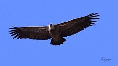 grifone sardo (Tonpiga) Tags: tonpiga uccelliinlibertà faunaselvatica grifonesardo avvoltoio gipsfulvus