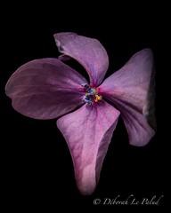 . . . H e a r t f e l t . . . (321Debs) Tags: moody flower macro canon 7dii nature art pink 100mm closeup flora blackbackground hydrangea