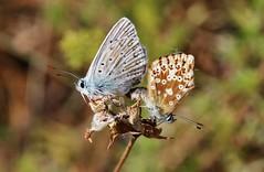 Bläulinge (Hugo von Schreck) Tags: hugovonschreck schmetterling butterfly macro makro insect insekt canoneos5dsr