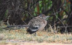 Greater Roadrunner (Christopher Lindsey) Tags: greaterroadrunner birds birding sanjacinto wildlifearea riversidecounty california