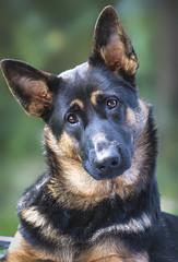 Puppy Eyes (Paula Darwinkel) Tags: dog puppy germanshepherd shepherd pet animal eyes nature cute portrait