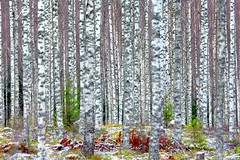 The dense birch-forest. (irio.jyske) Tags: nice autumnwinter forestview birchforest birch forest view winter autumn frost cool cold rime naturepictures naturephoto naturephotograph nature naturepic naturescape naturephotos naturepics natural naturephotographer landscape landscapes landscapephotographer landscapephotos lakescape landscapepics landscapepic lanscape landscapephotograph photograph photographer photos pic beauty beautiful dense