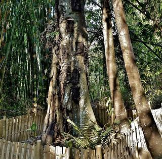 INDONESIEN, Baby-Baumgräber bei Tilanga, INDONESIA, Sulawesi - Traditional baby tree tomb of the Toranja near Tilanga, Kambira, 17680