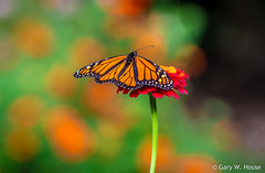 Layers of Color (gwh.photography) Tags: ky pritchardcommunitycenter monarch zinnia