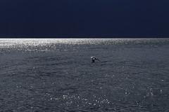 mouette6 (marcel.photo) Tags: möwe mouette vogel bird vevey schweiz switzerland genfers lac lémon horizont horizon