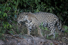 Jaguar (Greg Lavaty Photography) Tags: jaguar pantheraonca brazil august matogrosso pantanal wetlands outdoors nature wildlife