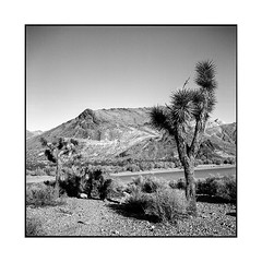 isolation • rhyolite, nv • 2018 (lem's) Tags: isolation cabane cabin desert cactus rhyolite nv nevada ghost town ville fantome rolleiflex t
