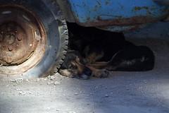 P8298025 (Бесплатный фотобанк) Tags: россия камчатка камчатскийкрай дворняжка дворняжки бездомныйпес бездомныесобаки бездомныепсы бездомнаясобака собака пес