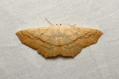 Sabulodes aegrotata (Omniverous Looper Moth) - Hodges # 6995 - Everett, WA (Nick Dean1) Tags: sabulodesaegrotata omniverousloopermoth animalia arthropoda arthropod hexapoda hexapod insect insecta geometridae moth loopermoth looper