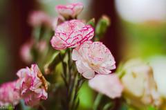 Carnations (BGDL) Tags: lightroomcc nikond7000 bgdl nikkor50mm118gnikond7000 niftyfifty bouquet carnations focus week38 weeklytheme flickrlounge
