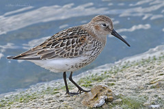 Dunlin (PETEJLB) Tags: dunlin calidrisalpina wader waterbirds wetlands birds bird nature wildlife avian aves water oxfordshire uk seashore shorebirds