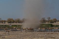 Mini tornade ( Philippe L PhotoGraphy ) Tags: afrique namibie oshikotoregion na afric philippelphotography rapace oiseaux elephan réserve pentax k1