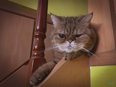 傑咪-到了中秋節依然還是厭世的表情! (迷惘的人生) Tags: 淡水區 新北市 臺灣 tw iphone xsmax cat 貓 加菲貓 虎斑貓
