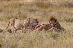 Lions (Valter Patrial) Tags: cape buffalo savanna ngorogoro lion cats bigcats tanzania africa
