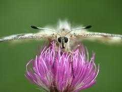 Apollon (Dom35410) Tags: papillon apollon