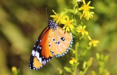 mariposa tigre / african monarch (jjulio2311) Tags: coth coth5 butterfly insect orange yellow macro