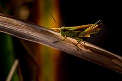 Grashopper (RGaenssler) Tags: sechsfüser feldheuschrecken neuflügler insekten chorthippus gemeinergrashüpfer floraundfauna tiere kurzfühlerschrecken tracheentiere grashüpfer fluginsekten gliederfüser heuschrecken acrididae arthropoda caelifera chorthippusparallelus criquetdespâtures gomphocerinae hexapoda insecta neoptera orthoptera pterygota tracheata meadowgrasshopper seewald badenwürttemberg deutschland de