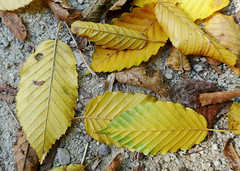 Yellow leaves still life (Monceau) Tags: fallen yellow leaves stilllife tuileries autumn accidentalstilllife odc ground