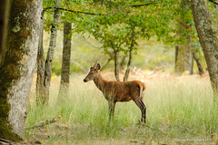 Statique (patoche21) Tags: animal animalsauvage bourgogne bourgognefranchecomte cervide europe faune france nature naturel paysage treigny yonne animalier daguet forêt parc regard réserve sousbois patrickbouchenard burgundy forest reserve park dagger boutissaint