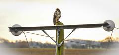 Buzzard at Elford (robmcrorie) Tags: buzzard bird wildlife staffordshire elford