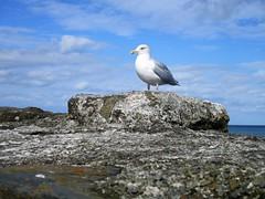 Herring gull (pefkosmad) Tags: wales holiday september vacation gull bird herringgull rocks seaside harbour newquay nature coast ceredigion resort fishing cardiganbay dyfed