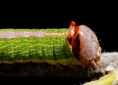Caterpillar (TheWildCarrot) Tags: arthropods caterpillar dentoncounty insects llela llelamothing lepidoptera lewisville lewisvillelakeenvironmentallearningarea texas unitedstates us