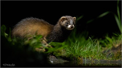 Bunzing 021018(*****) (Gertj123) Tags: animal nature netherlands night wildlife wild canon sigma120300mmf28 mammals hide drenthe
