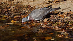 Pigeon day (1/3) : drinking in the colors of fall (Franck Zumella) Tags: pigeon fall automne red rouge orange color couleur love time kiss embrasser bisou amour animal nature wildlife bird oiseau water eau lake lac branch branche