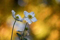 Golden Anemone (agnieszka.a.morawska) Tags: macro bkhq beyondbokeh bokehlicious bokeh flower helios44m helios jesień anemon anemone autumn