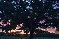 Auf Rindersuche im Morgengrauen - die Eiche auf der Weide; Bergenhusen, Stapelholm (9) (Chironius) Tags: rosids fabids buchenartige fagales buchengewächse fagaceae eiche quercus stieleiche baum bäume tree trees arbre дерево árbol arbres деревья árboles albero oak chêne дуб roble quercia rovere ek carvalho meşe eik árvore ağaç boom träd deutscheeiche quercusrobur stapelholm bergenhusen schleswigholstein deutschland germany allemagne alemania germania германия niemcy morgendämmerung sonnenaufgang morgengrauen утро morgen morning dawn sunrise matin aube mattina alba ochtend dageraad zonsopgang рассвет восходсолнца amanecer morgens dämmerung baumsilhouette